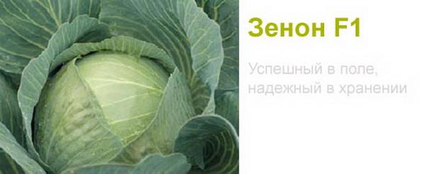 Сорт капусты белокочанной: Зенон   f1