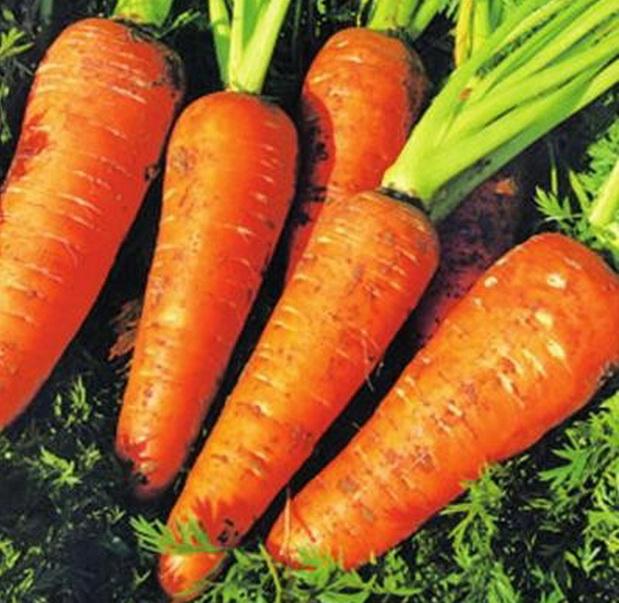Сорт моркови: Зимний нектар