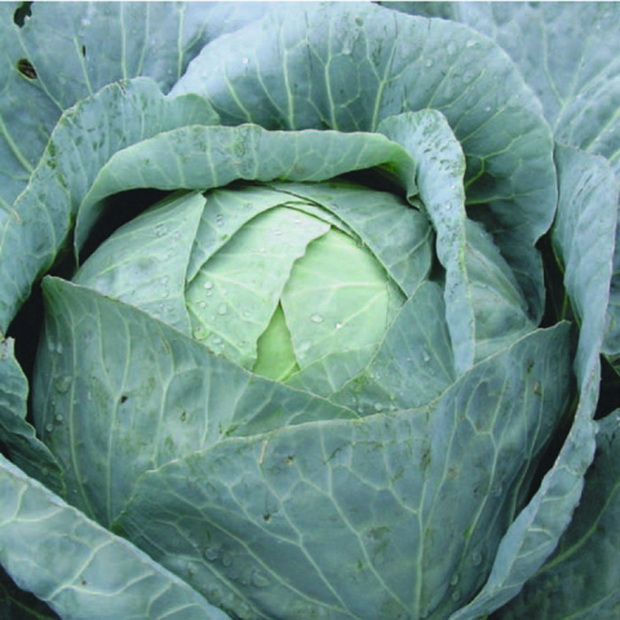 Сорт капусты белокочанной: Зимовка 1474