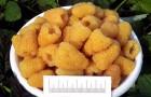 Сорт малины: Золотая осень