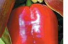 Сорт перца сладкого: Золушка f1