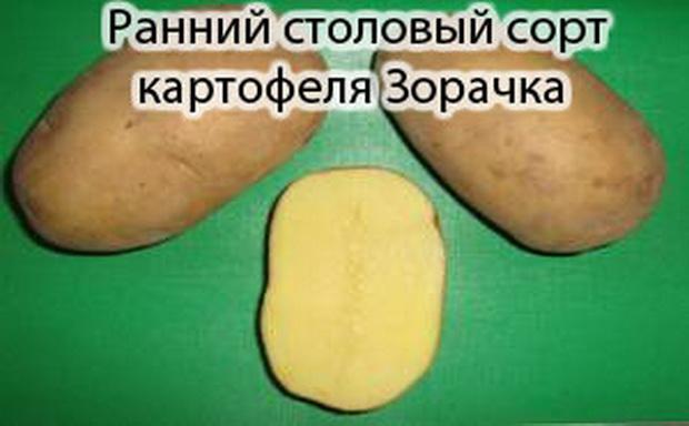 Сорт картофеля: Зорачка