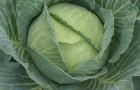 Сорт капусты белокочанной: Зося f1