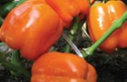 Сорт перца сладкого: Звезда востока f1