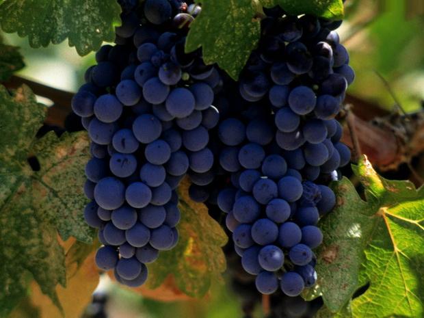 Сорт винограда: Аг-изюм урожайный