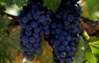 Сорт винограда: Аг изюм