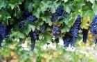 Сорт винограда: Агадаи