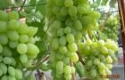 Сорт винограда: Александр