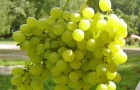 Сорт винограда: Алешенькин дар