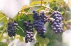 Сорт винограда: Алиевский