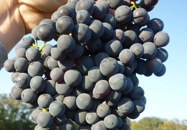 Сорт винограда: Алый терский