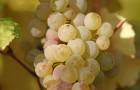 Сорт винограда: Анапский устойчивый