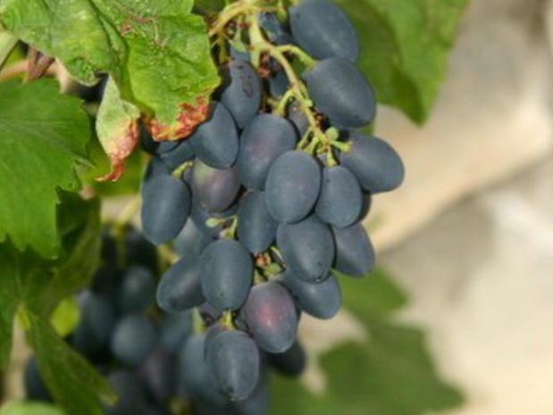 Сорт винограда: Андреевский
