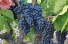 Сорт винограда: Аннушка