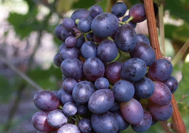 Сорт винограда: Антей магарачский