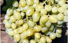 Сорт винограда: Аркадия