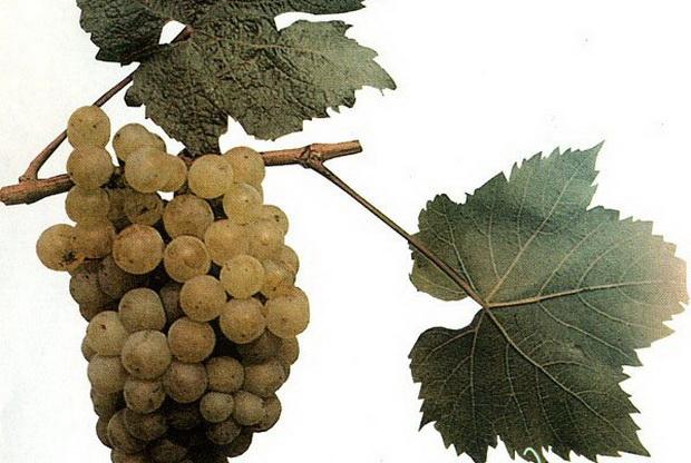 Сорт винограда: Авгалия