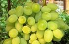 Сорт винограда: Августин