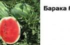 Сорт арбуза: Барака f1