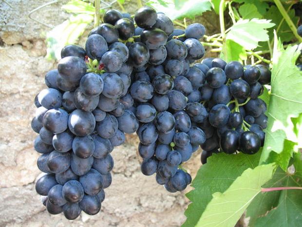 Сорт винограда: Бархатный