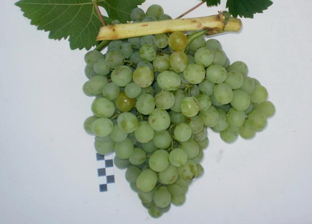 Сорт винограда: Белый ранний