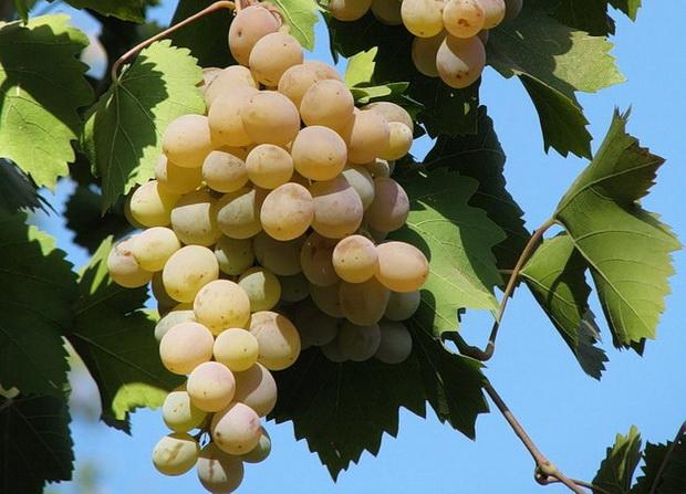 Сорт винограда: Бианка