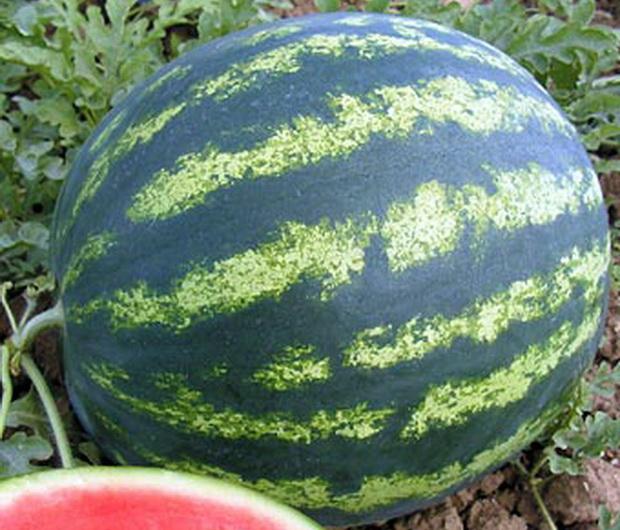 Сорт арбуза: Бонта   f1