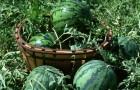Сорт арбуза: Бонус f1