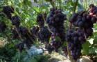 Сорт винограда: Бригантина