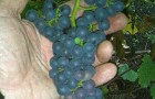 Сорт винограда: Брускам