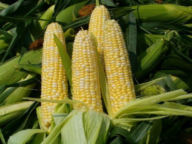Сорт кукурузы: Чапаевец св