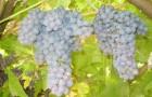 Сорт винограда: Декабрьский