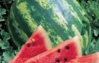 Сорт арбуза: Деликатесный f1
