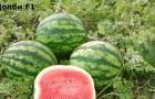 Сорт арбуза: Долби f1