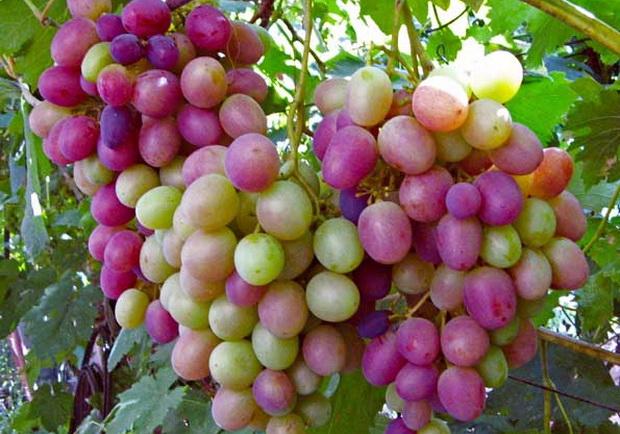 Сорт винограда: Дольчатый