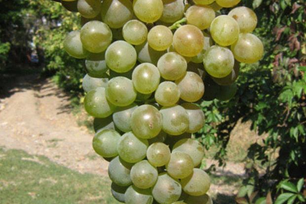 Сорт винограда: Дунавски лазур