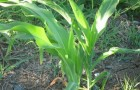 Сорт кукурузы: Экзист
