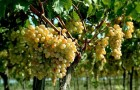 Сорт винограда: Эллада