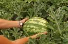 Сорт арбуза: Эврика f1