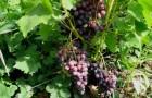 Сорт винограда: Екатеринодарский