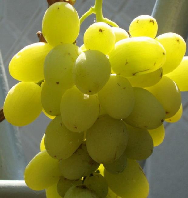 Сорт винограда: Ермак