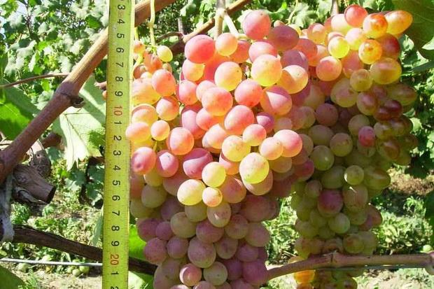 Сорт винограда: Фантазия