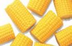 Сорт кукурузы: Филу