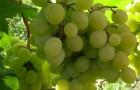 Сорт винограда: Фрумоаса албэ