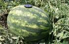 Сорт арбуза: Фурия f1