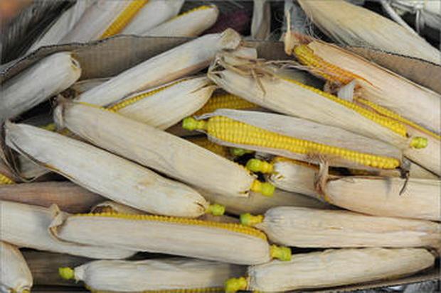 Сорт кукурузы: Футура