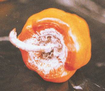 Фузариозное увядание перца