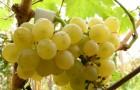 Сорт винограда: Гечеи заматош