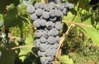 Сорт винограда: Гранатовый