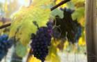Сорт винограда: Грушевский белый